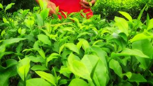 The tea plant in plucking action